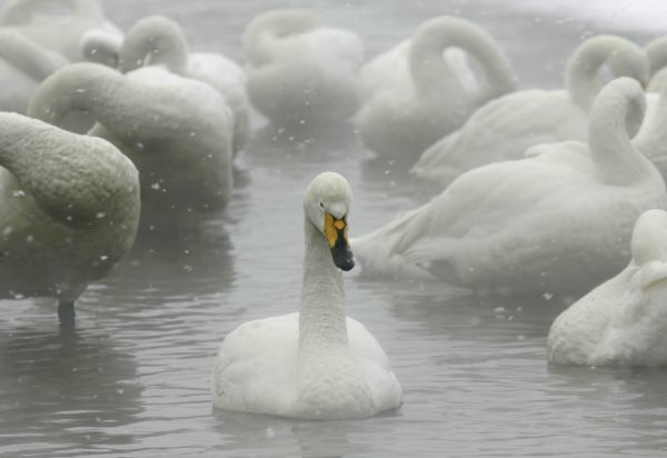 Whooper swans float on the waters of Lake Kussharo in Akan National Park in Teshikaga town in the eastern part of Hokkaido, northern Japan February 9, 2007