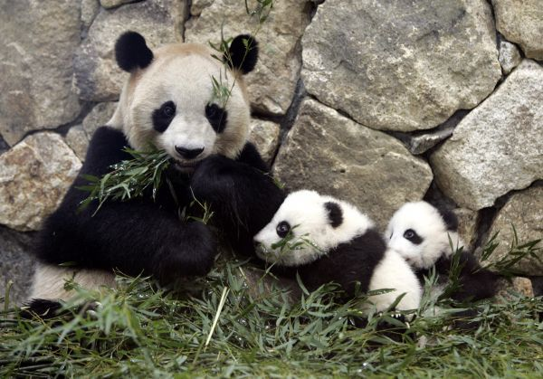 Three-month-old twin pandas Aihin and Meihin sit with their mother Meimei at Adventure World in Shirahama town, central Japan, April 14, 2007