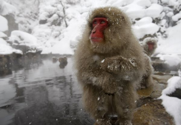 Japanese monkeys gather to soak in a hot spring in a snow-covered valley in Yamanouchi town, central Japan February 17, 2008. REUTERS/Issei Kato (JAPAN)