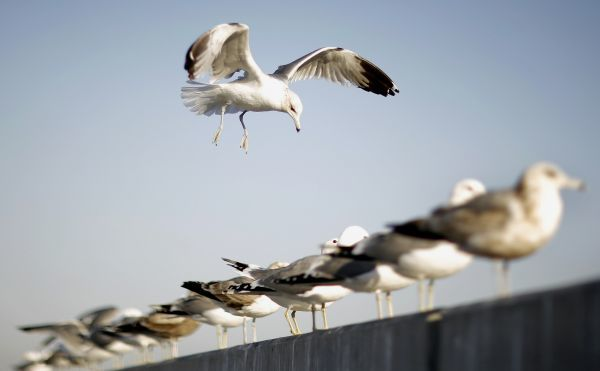 A bird flies by a group of birds perched on a wall in Hollywood, California March 10, 2009. REUTERS/Mario Anzuoni (UNITED STATES)