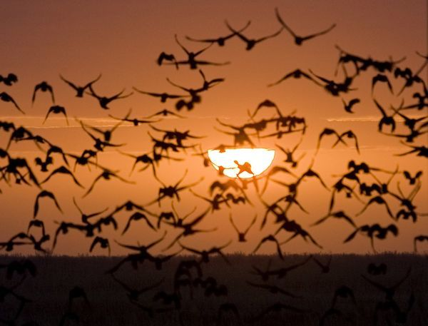A flock of birds is silhouetted against the sunrise outside the town of Kyzylorda in southern Kazakhstan March 27, 2009. REUTERS/Shamil Zhumatov (KAZAKHSTAN ENVIRONMENT ANIMALS)
