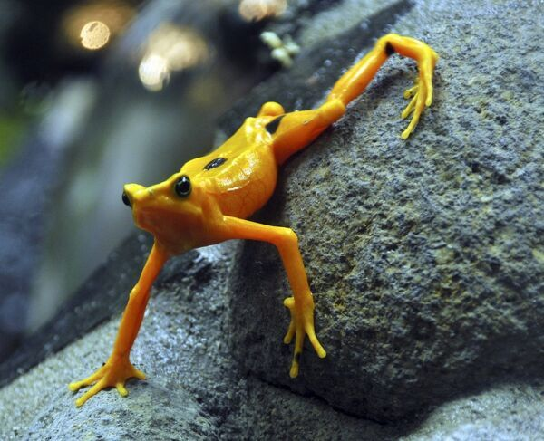 A gold frog is seen at the El Nispero Zoo in El Valle town, Panama April 16, 2009