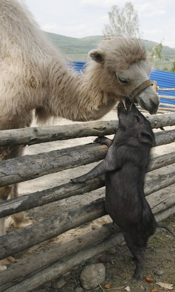 Three-month-old Asian camel Ldinka bends over a fence to nuzzle against an adult Vietnamese miniature pig at Royev Ruchey Zoo in the Siberian city of Krasnoyarsk, June 2, 2009. REUTERS/Ilya Naymushin (RUSSIA ANIMALS)