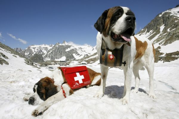 Saint Bernard dogs Katy and Salsa (R) sit on the snow after their arrival at the Great Saint Bernard mountain pass at an altitude of 2,473 metres (8,114 ft