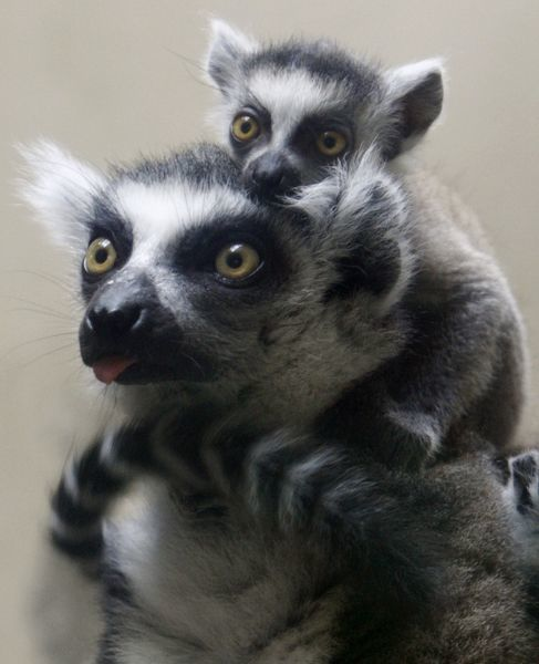 A baby ring-tailed lemur cuddles with its mother in their enclosure at Ueno Zoo in Tokyo July 11, 2009. REUTERS/Yuriko Nakao (JAPAN ANIMALS)
