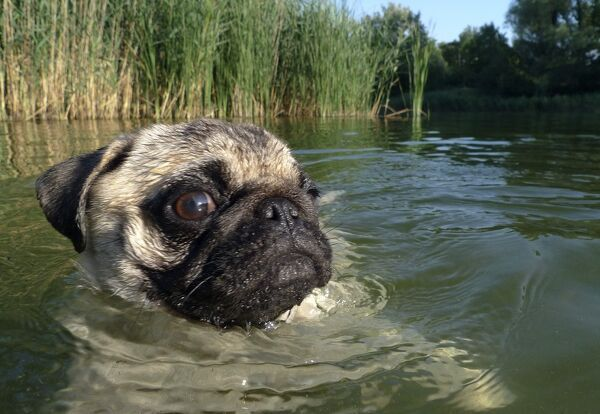 A young pug swims in Muehlwasser lake in the floodplain forest along the Danube River in Vienna July 16, 2009. REUTERS/Herwig Prammer (AUSTRIA SOCIETY IMAGES OF THE DAY)