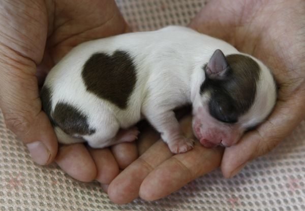 "A long-coated male chihuahua named ""Love-kun"" with a heart-shaped pattern on his coat sleeps at Pucchin Dog's shop in Odate, northern Japan August 6, 2009"