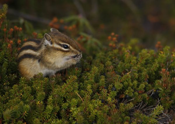 A chipmunk is seen eating on a dwarf stone pine at Mount Asahi, the tallest mountain in Japan's nothern island of Hokkaido, in Higashikawa town September 23, 2009. REUTERS/Yuriko Nakao (JAPAN ENVIRONMENT ANIMALS)
