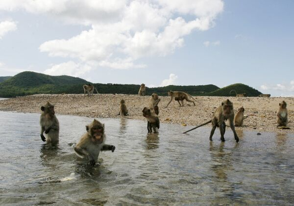 Long-tailed macaques wade into the sea to get fruits thrown from a Navy boat off Kledkaew island, Sattahip district, Chonburi province October 21, 2009. Hundreds of monkeys live on the offshore island which is located within the Naval training base