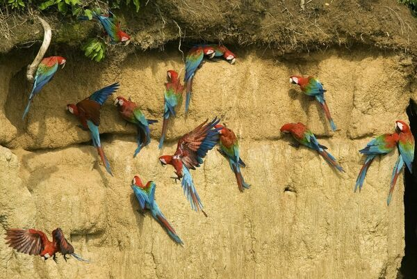 Red and Green Macaws are seen on a clay lick at the Manu Biosphere Reserve in Peru's southern Amazon region of Madre de Dios November 2, 2009. This 1.8 million hectares reserve is the home of 600 birds species and 11 monkey species among other animals