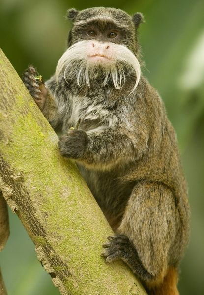 An Emperor Tamarin monkey is seen at the Manu Biosphere Reserve in Peru's southern Amazon region of Madre de Dios November 3, 2009. This 1.8 million hectares reserve is the home of 600 birds species and 11 monkey species among other animals