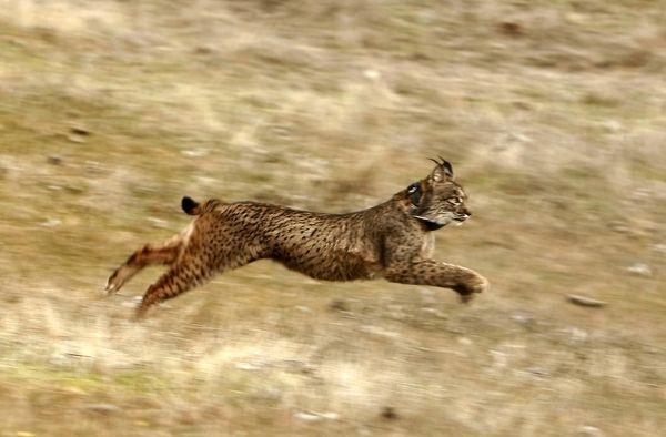 An Iberian lynx runs after being released in Villafranca de Cordoba, southern Spain December 14, 2009
