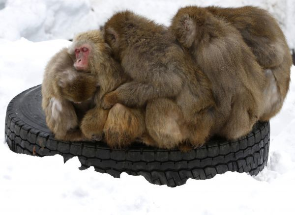 Japanese macaques gather on a tyre at Sapporo Maruyama Zoo in Sapporo, northern Japan, January 18, 2010. REUTERS/Issei Kato (JAPAN - Tags: ANIMALS)