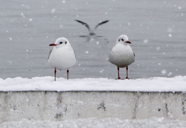 Seagulls stand during a snowfall in a park in Istanbul January 25, 2010. REUTERS/Osman Orsal (TURKEY - Tags: ENVIRONMENT SOCIETY ANIMALS)
