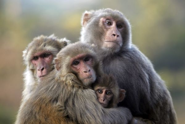 A group of monkeys sit huddled together on a cold morning in Udhampur about 70 km (43 miles) north of Jammu February 17, 2010. REUTERS/Fayaz Kabli (INDIAN-ADMINISTERED KASHMIR - Tags: ENVIRONMENT ANIMALS SOCIETY IMAGES OF THE DAY)