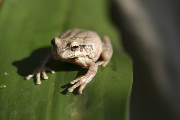 A Mexican Treefrog (Smilisca Baudinii) is seen at the Montibell wildlife reserve, located 21 km (18 miles) south of Managua, March 2, 2010. REUTERS/Oswaldo Rivas (NICARAGUA - Tags: ANIMALS)