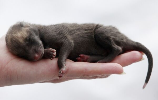 "An employee holds a sleeping five-day-old red fox cub at the ""Royev Ruchey"" zoo in the Siberian city of Krasnoyarsk, April 19, 2010. REUTERS/Ilya Naymushin (RUSSIA - Tags: ANIMALS ENVIRONMENT IMAGES OF THE DAY)"