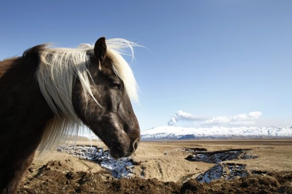 A horse stands in a field as volcanic ash and steam rise from Iceland's Eyjafjallajokull volcano April 21, 2010. The Icelandic volcano which grounded air traffic over Europe is still erupting, but it is spewing less ash, the meteorological office