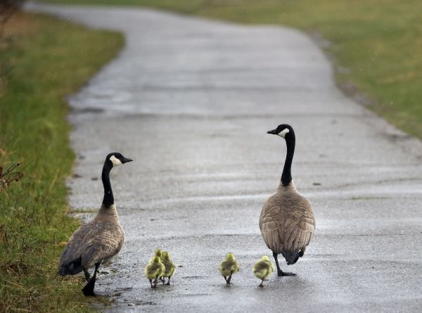A family of geese walks along a bike path at the Bow River in Calgary, Alberta, April 28, 2010. REUTERS/Todd Korol (CANADA - Tags: ANIMALS SOCIETY)