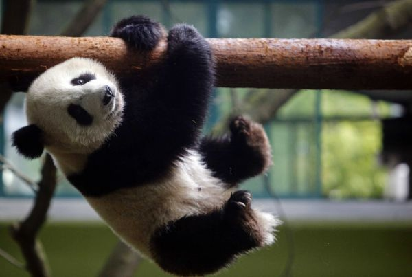A giant panda bear cub for the 2010 Shanghai Expo plays at the Shanghai Zoo, May 7, 2010. Ten giant panda bear cubs were flown in to Shanghai in January for a year-long stay to add cheer to the Shanghai Expo, Xinhua News Agency reported. REUTERS/China Daily