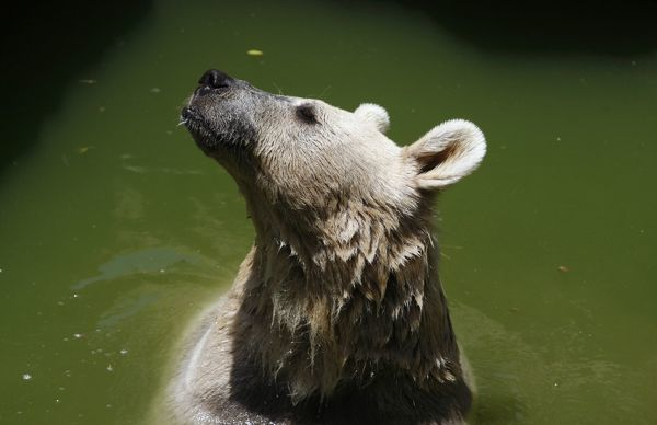 A Syrian Brown Bear stands in the water as she cools down at Jerusalem's Biblical Zoo June 22, 2010. REUTERS/Baz Ratner (JERUSALEM - Tags: ANIMALS ENVIRONMENT)
