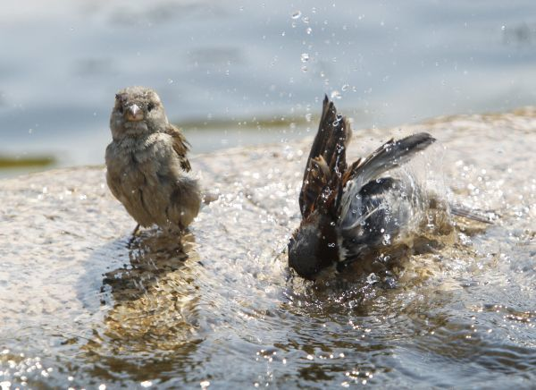 Sparrows cool down in a fountain as temperatures reached 36 degrees Celsius (96.8 degrees Fahrenheit) in central Moscow July 23, 2010. REUTERS/Sergei Karpukhin (RUSSIA - Tags: ENVIRONMENT ANIMALS)