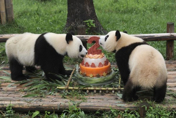 "Giant pandas Shuxiang (L) and Qimiao enjoy a birthday ""cake"" made of apples, ice, carrots and bamboos at the Chengdu Giant Panda Breeding and Research Base in Chengdu, Sichuan province July 26, 2010. REUTERS/Stringer (CHINA - Tags"
