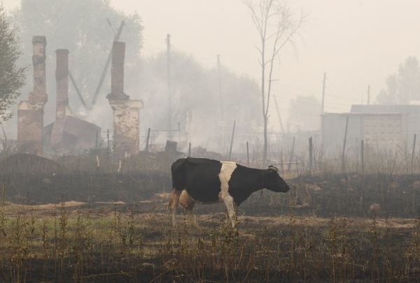 A cow grazes on the burnt ground near the ruins of a building outside the town of Vyksa, some 150 km (93 miles) south-west of the Volga city of Nizhny Novgorod, July 30, 2010. Forest fires sweeping across parts of Russia on Friday killed at least 23 people