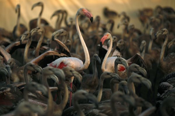 Flamingo chicks are gathered before being ringed at the Fuente de Piedra natural reserve, near Malaga, in southern Spain August 7, 2010