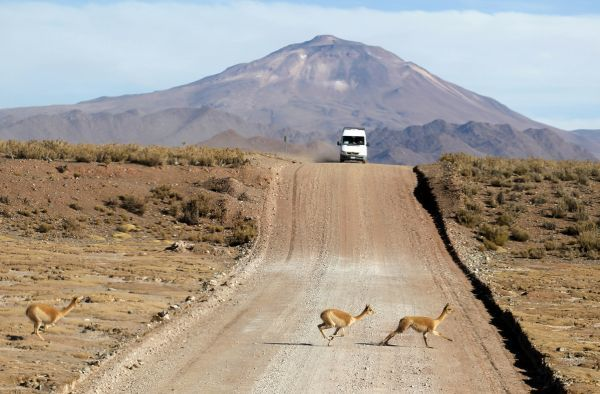 Vicunas cross National Route 40, near Huancar town in the Argentine Puna region of San Salvador de Jujuy, 3,900 metres (12,795 feet) above sea level August 7, 2010. REUTERS/Enrique Marcarian (ARGENTINA - Tags: ENVIRONMENT ANIMALS)