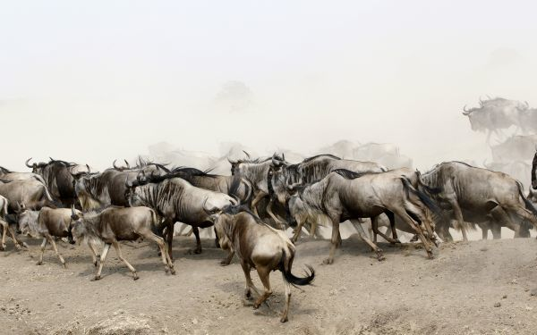 Wildebeests (connochaetes taurinus) run after crossing the Mara river during a migration in the Masaai Mara game reserve, 270 km (165 miles) southwest of capital Nairobi, August 25, 2010
