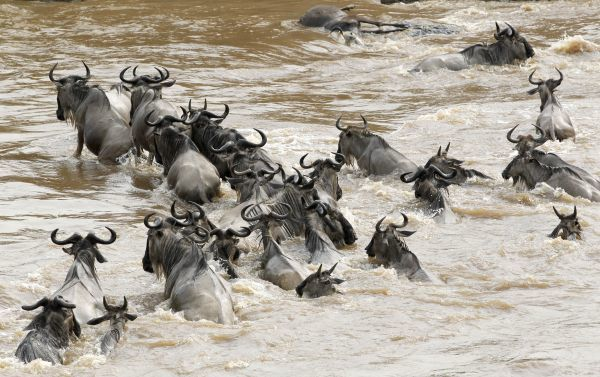 Wildebeests (connochaetes taurinus) cross the Mara river during a migration in the Masaai Mara game reserve, 270 km (165 miles) southwest of capital Nairobi, August 25, 2010