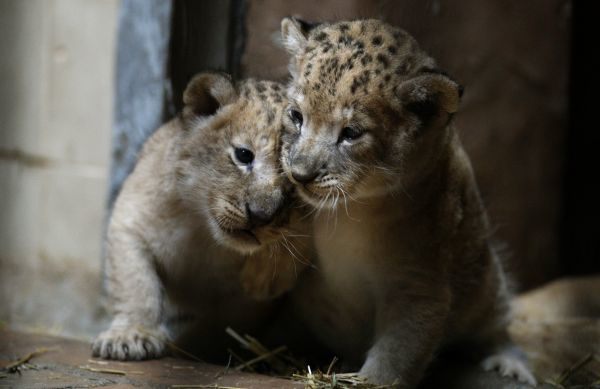 One-month-old lion cubs play in their enclosure at Sofia Zoo in Sofia November 22, 2010. The cubs were born last month in the zoo. REUTERS/Stoyan Nenov (BULGARIA - Tags: ANIMALS SOCIETY)
