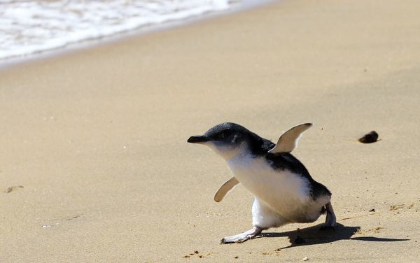 One of eight penguin chicks makes its way to the ocean after being released by Taronga Zoo staff at Long Reef, Sydney April 13, 2011