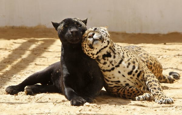 Lolo, a black jaguar, plays with Ward, her 14-month-old spotted cub, inside their enclosure at the zoo in Amman May 12, 2011. REUTERS/Ali Jarekji (JORDAN - Tags: ANIMALS SOCIETY)