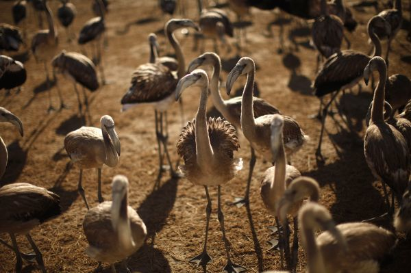 Flamingo chicks gather before being ringed at the Fuente de Piedra nature reserve, near Malaga, in southern Spain August 6, 2011