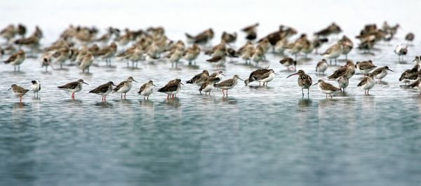 Migratory birds look for food near the Malaysian town of Kapar, about 100 km (60 miles) west of Kuala Lumpur on October 27, 2004. Millions of birds of more than 40 species travel from areas in [Russia, Alaska, eastern China, Japan and Siberia