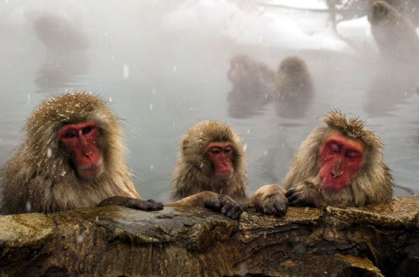 Japanese monkeys bathe in a hot spring at a Japan Monkey Park located in a valley in Shigakogen, central Japan January 23, 2003