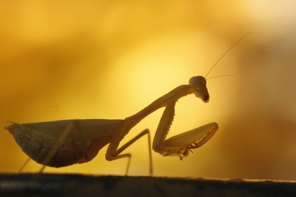 A praying mantis climbs a shoot in Cape Town, May 11, 2008.. REUTERS/Mike Hutchings (SOUTH AFRICA)