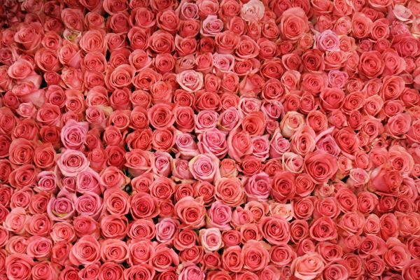 Pink roses adorn the side of a float which will take part in the 117th annual Rose Parade in Pasadena, California on December 30, 2005
