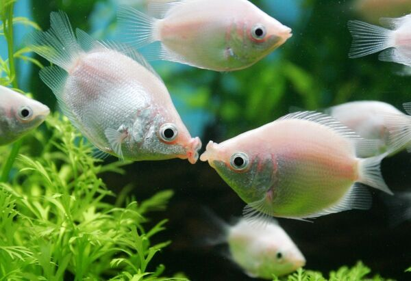 "A pair of tropical ""kissing fish"", locally called ""Jie wen yu"", kiss at a pet shop in Shanghai February 14, 2005. The ""kissing fish"", an aquarium fish that puckers its lips, is a popular gift during Valentine's Day in China"