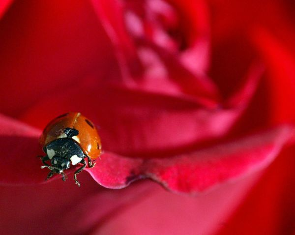 A ladybird rests on a red rose under the sun at Saladin park in the centre of Jordanian capital Amman April 27, 2005. REUTERS/Ali Jarekji PP05040250 AJ/YH