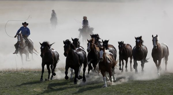 Wranglers work to gather horses during of Montana Horses' annual horse drive outside Three Forks, Montana, May 4, 2012. The Mantle family, who own Montana Horses, held their last horse drive where they rounded up approximately 300 horses