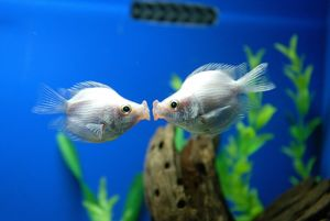 Tropical Fish Pair Kissing